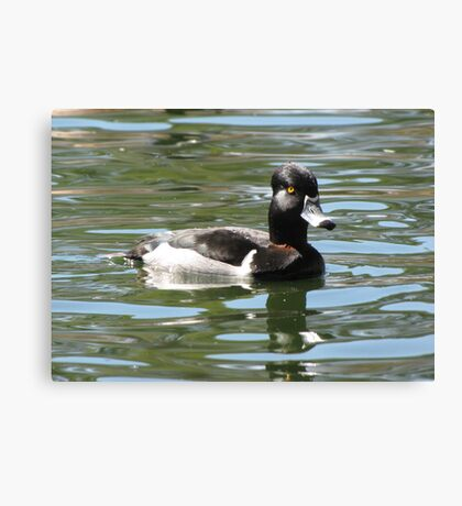 Ring-necked Duck ~ Male Canvas Print