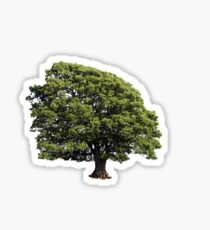 Large Oak Tree (Isolated on white background) Sticker