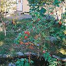 My first apple-tree. by prema