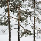 Trio of Pine by Michael  Dreese