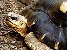 T for Tortoise by Marcia Rubin