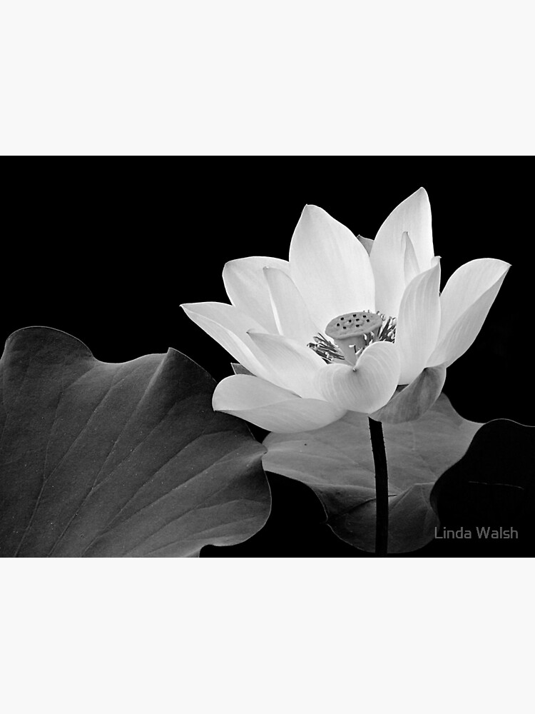 Lotus Flower in Black and White  by Covecritters