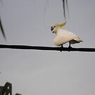 Hot Bird on the Wire by 4spotmore