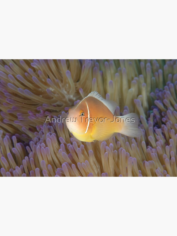 Pink Anemonefish - Amphiprion perideraion by andrewtj