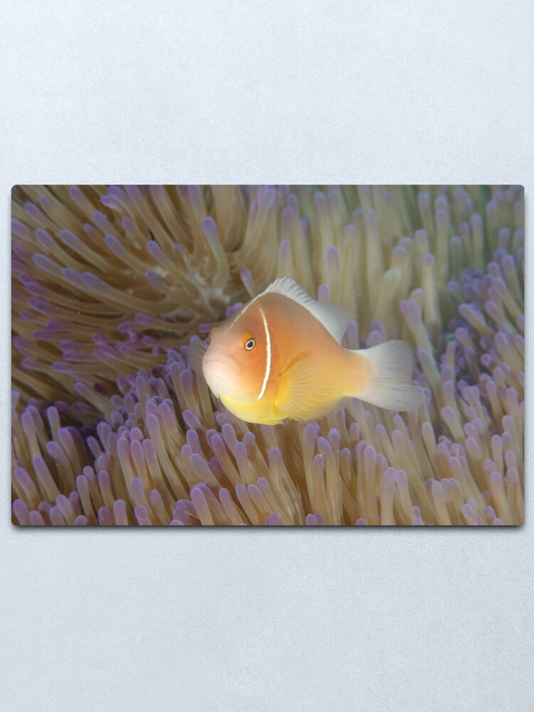 Alternate view of Pink Anemonefish - Amphiprion perideraion Metal Print