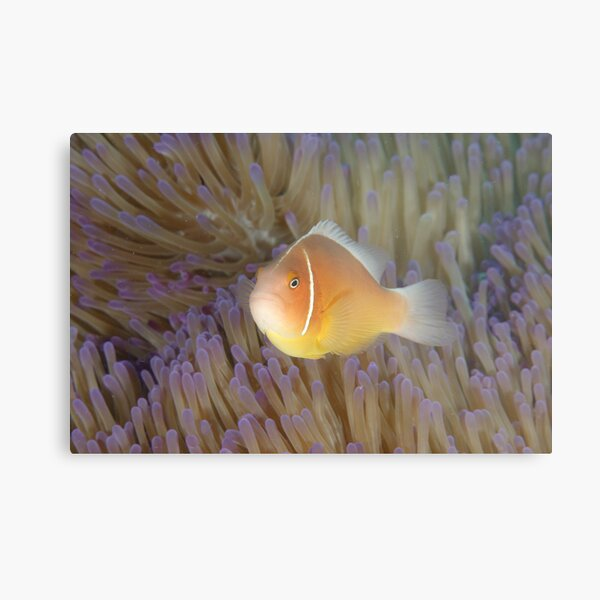 Pink Anemonefish - Amphiprion perideraion Metal Print