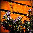 Blooming Rosemary (i) by PhotoMairo