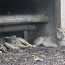 Family of lions by Marie Brown ©
