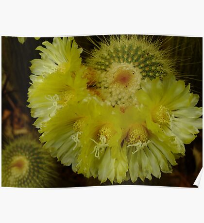 Cactus Flower! Poster