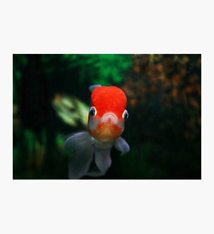 Red capped Oranda Photographic Print