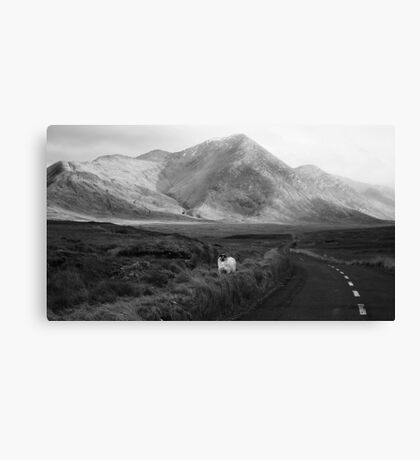 Curious Sheep Canvas Print