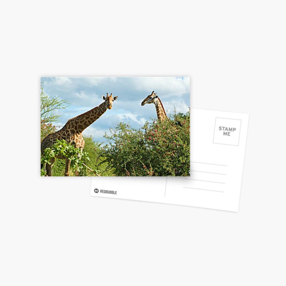Giraffe Duo Postcard