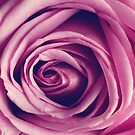 Purple Rose - Macro Spring Flower Photograph by ameliakayphotog