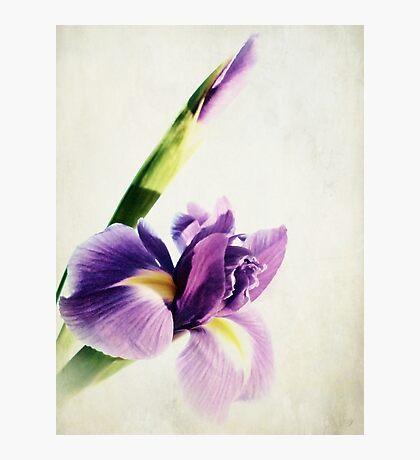 Purple Iris. Photographic Print