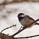 Chickadee in a Pine Tree by ArianaMurphy
