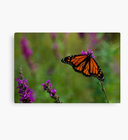 Male Monarch Butterfly on Purple Loosestrife Canvas Print