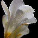 White flower 4558 by João Castro