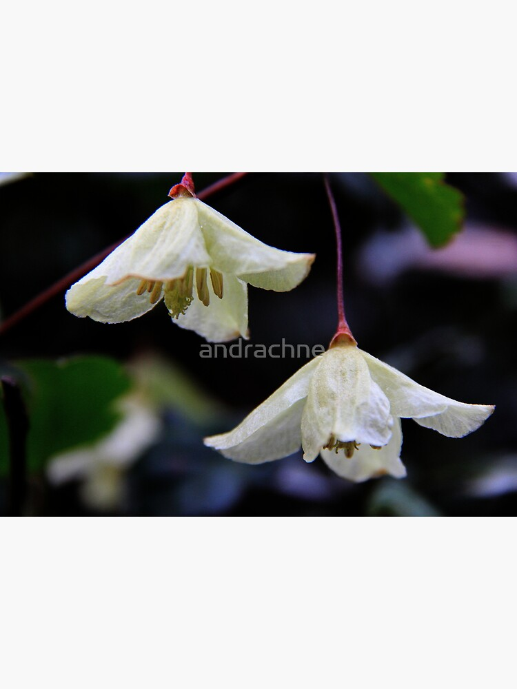 Clematis cirrhosa by andrachne