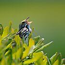 Savannah Sparrow by Steve Borichevsky