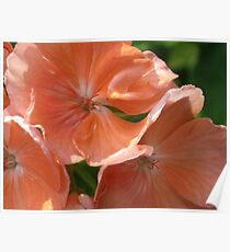 What Kind of Flower is This? Solved by SoftSpot! A Geranium (Pelargonium) Poster