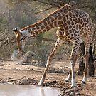 Giraffe Drinking Spray by Michael  Moss