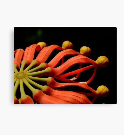 Australian Native - Fire Wheel Tree (Stenocarpus sinuatus) Canvas Print