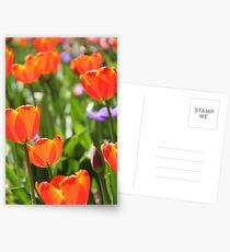 Orange tulips Postcards