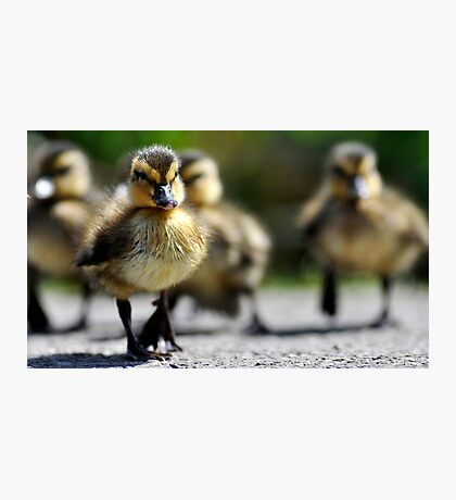 Ducklings on the move  Photographic Print