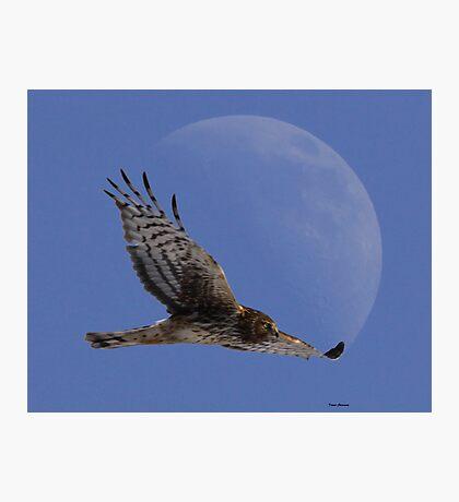 Northern Harrier Photographic Print