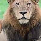 I am a large dominant member of the Majingilane coalition! by Anthony Goldman