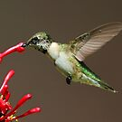 Ruby Throated Humming Bird by Anthony Goldman