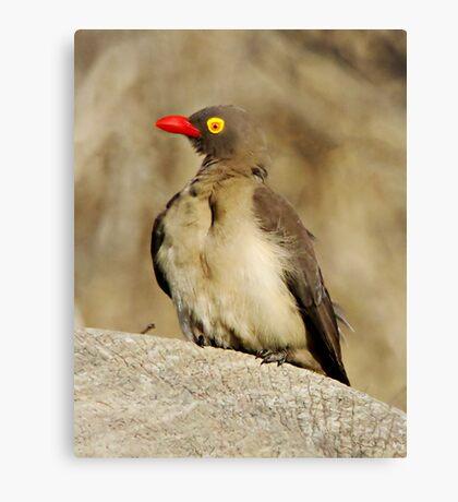 Red Billed Oxpecker Canvas Print