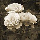 Orange Roses in Sepia by Bernadette Claffey