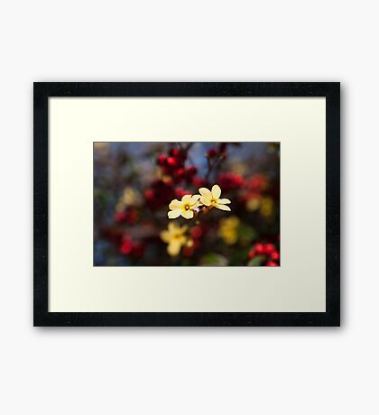 Jasminum Nudiflorum Framed Print