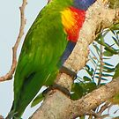 The Lonely Lorikeet by Andy  Page