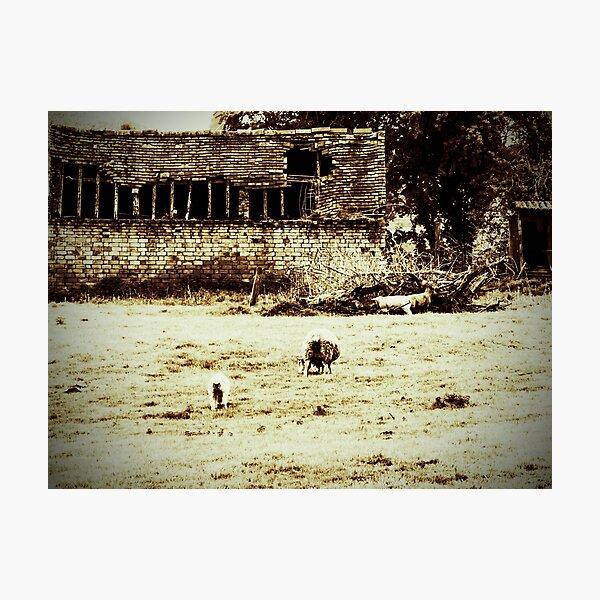 Vintage sheep  Photographic Print