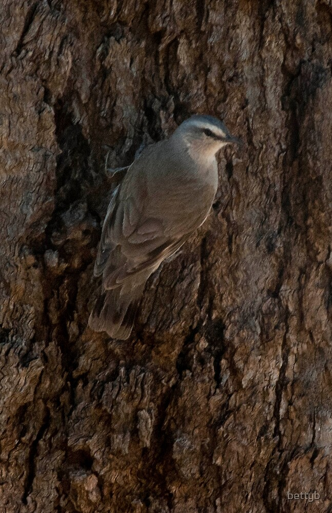 White Browed Tree Creeper by bettyb