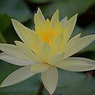 Yellow Waterlily by Richard  Windeyer