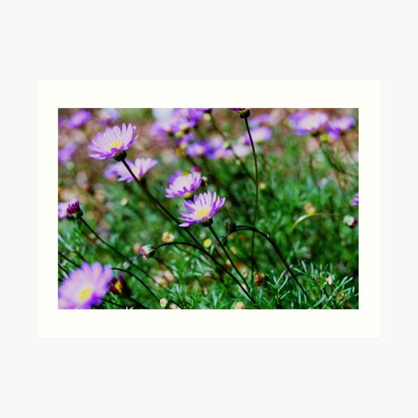 Purple Daisies Art Print