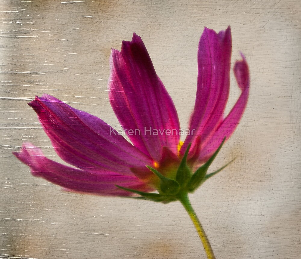 Textured Cosmea by Karen Havenaar