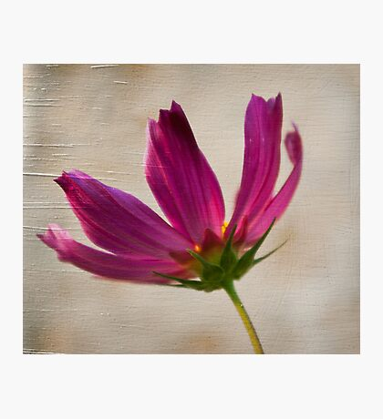 Textured Cosmea Photographic Print