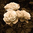 Antique Roses by Bernadette Claffey