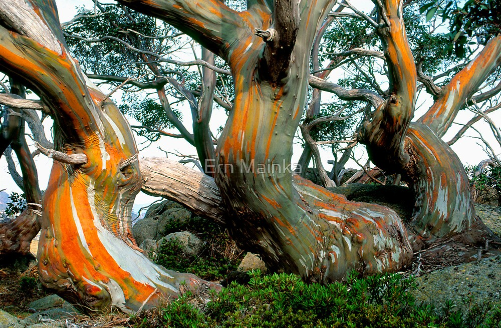 Quot Snow Gums Quot By Ern Mainka Redbubble