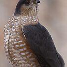 Sharp-shinned Hawk by Dennis Cheeseman