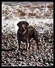 Chocolate Labrador by Tim Topping