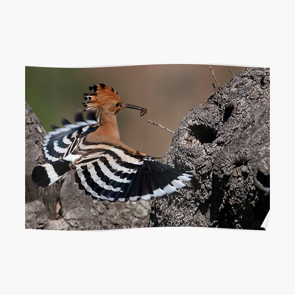 Happy Hoopoe Poster
