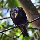 Curious Crow by Brenda Boisvert