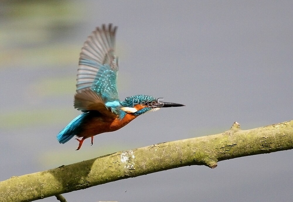 Kingfisher by PeteS