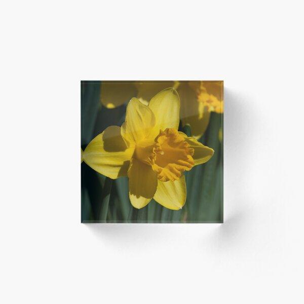 Yellow Daffodils Acrylic Block
