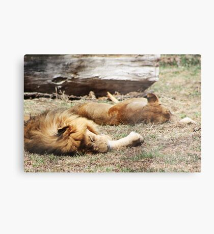 African Lion and Lioness Metal Print